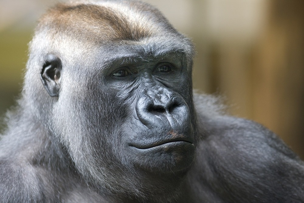 Harambe – Liability in Animal Attack Stories